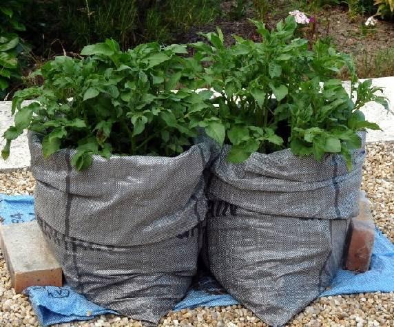 Технология выращивание картофеля в мешках: пошаговое описание - сельская жизнь