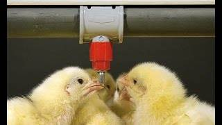 О поилке для кур, бройлеров, цыплят своими руками (автоматической, ниппельной)