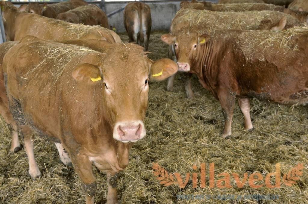 Характеристика англерской породы коров, правила ухода, плюсы и минусы