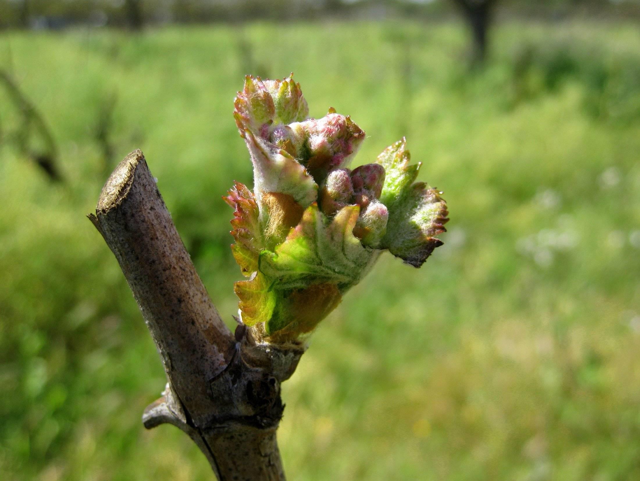 Когда открывать виноград после зимовки, при какой температуре + фото
