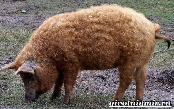 Порода свиней венгерская мангалица: характеристика, описание