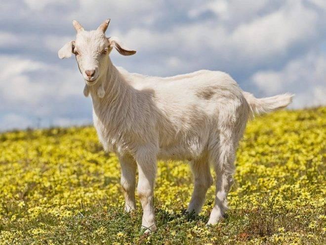 Тоггенбургские козы