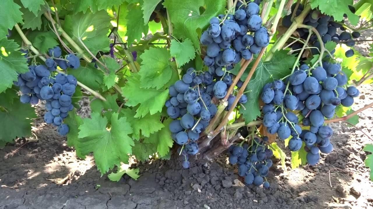 Сорт винограда руслан: описание и фото, размножение и выращивание, уход и посадка