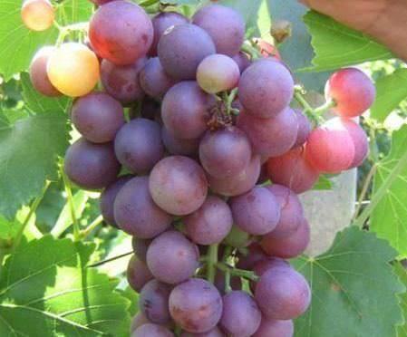 Новый сорт винограда селекции корнельского университета получил название эверест сидлис