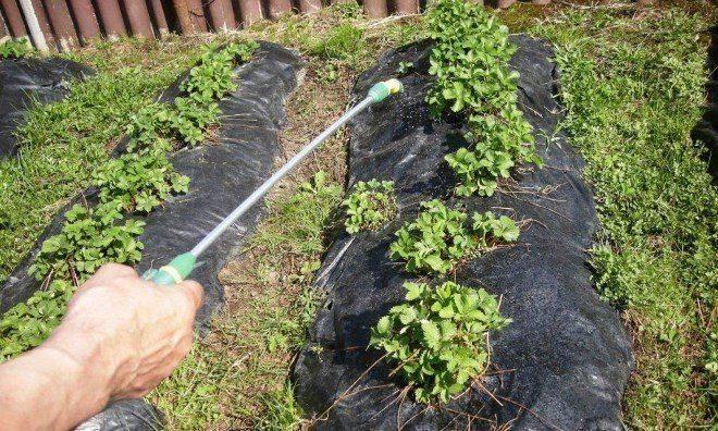 Как правильно подкармливать клубнику после сбора урожая