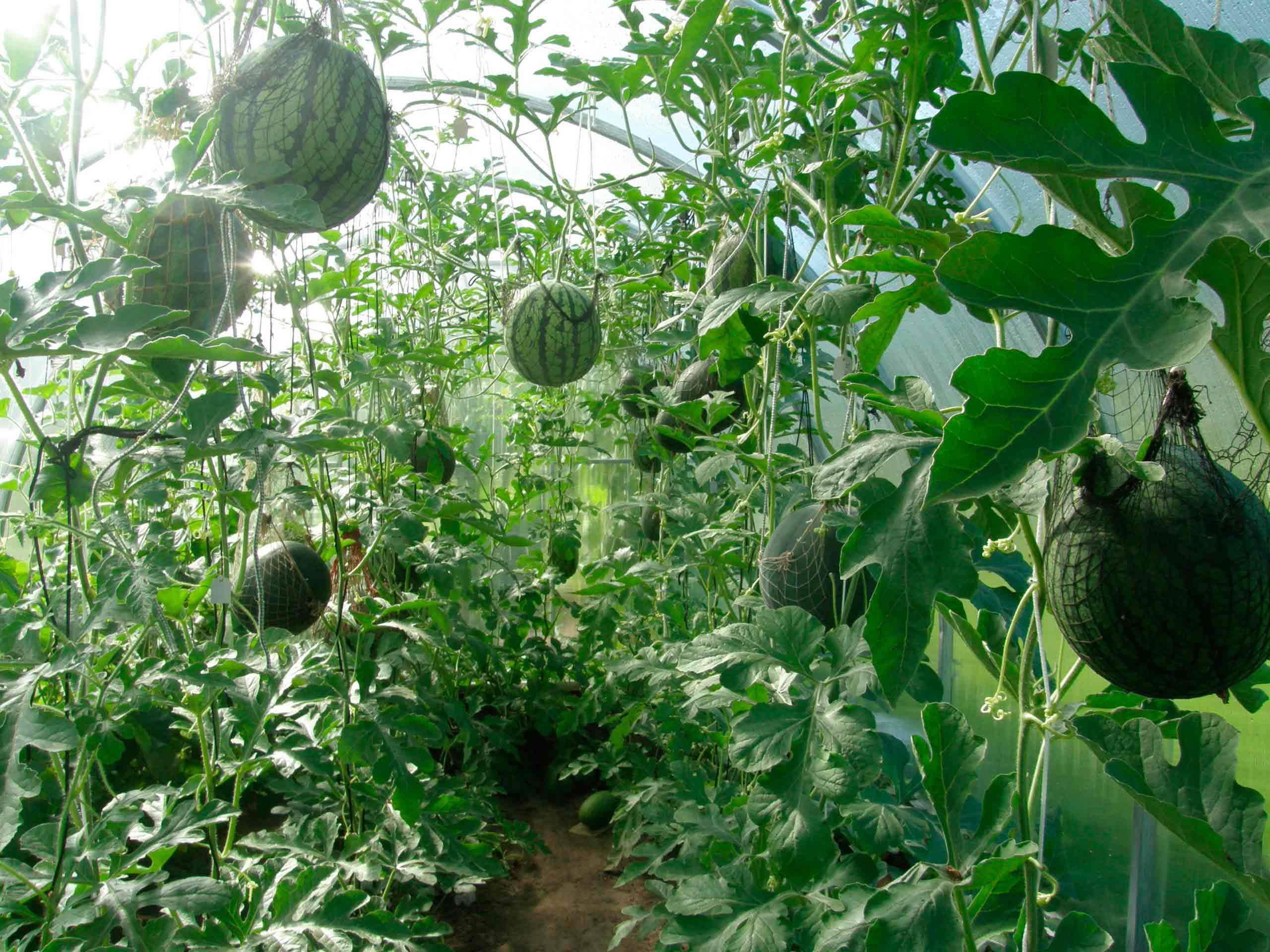 Чем подкормить арбузы в открытом грунте: обзор удобрений