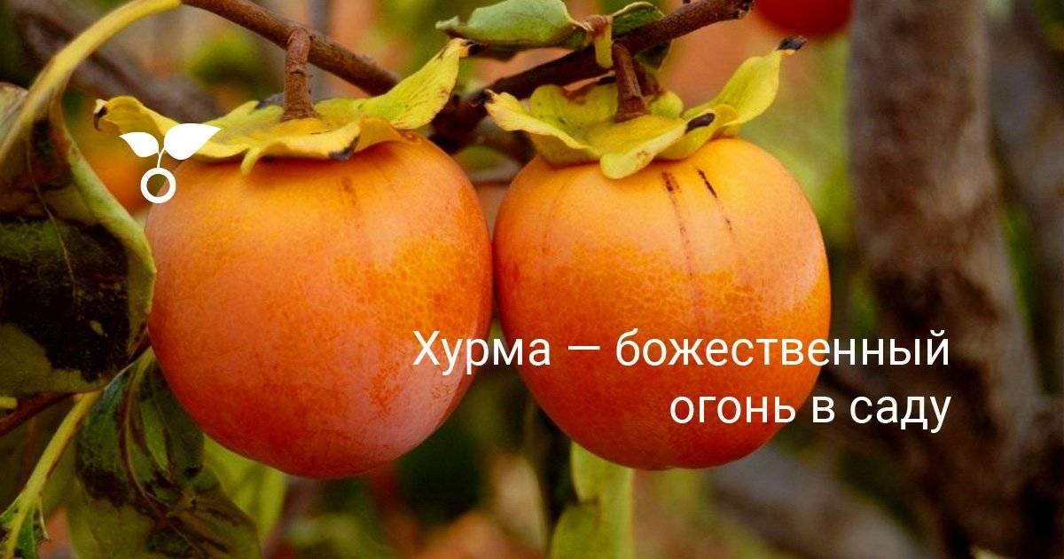 Экзотическая диковинка в средней полосе россии. можно ли выращивать хурму в подмосковье и как это делать?