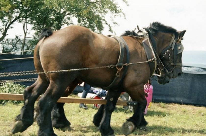 Арденская лошадь: описание породы, фото, содержание и уход