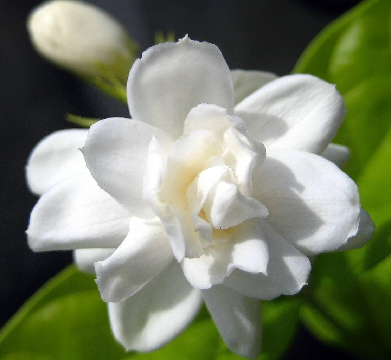 Уход за комнатным жасмином «самбак» в домашних условиях: как растить арабский цветок