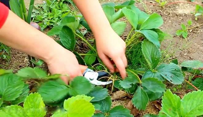 Чем подкормить клубнику весной? чем подкармливать для хорошего урожая? виды удобрений для подкормки клубники, правила внесения