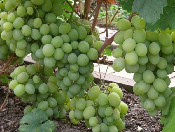 ᐉ обак зеленый крупный - сорт винограда - roza-zanoza.ru