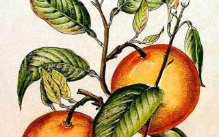 Апельсин citrus sinensis - сорта, уход и выращивание в домашних условиях, возможные проблемы