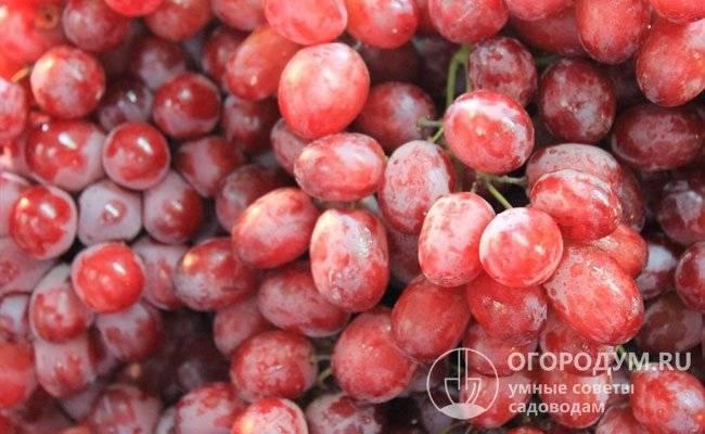 Виноград сорта юлиан: описание и посадка