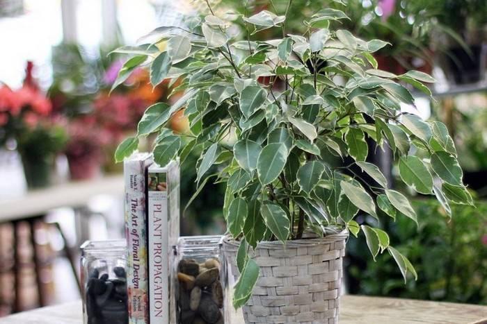 Фикус бенджамина даниэль — зеленое домашнее дерево