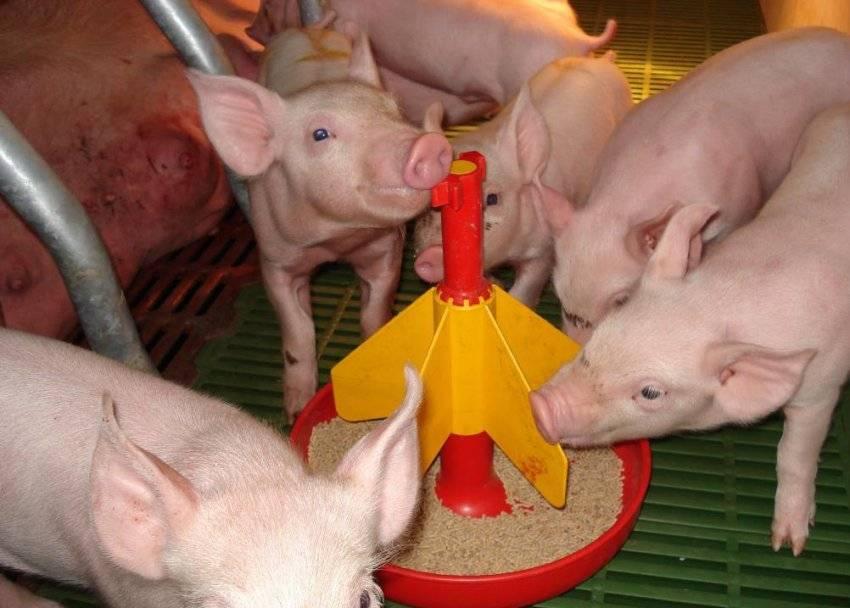 Самый эффективный откорм свиней в домашних условиях: нормы кормления, технологии, как составить рацион, особенности выращивания и содержания