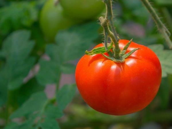 Сорт томата «алый мустанг»: описание, характеристика, посев на рассаду, подкормка, урожайность, фото, видео и самые распространенные болезни томатов