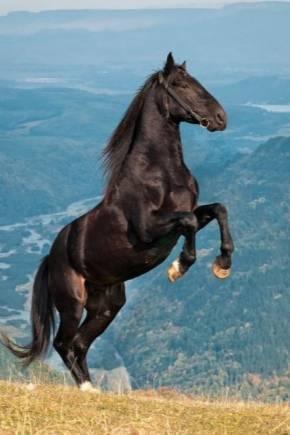 Характеристика и описание карачаевской породы лошадей