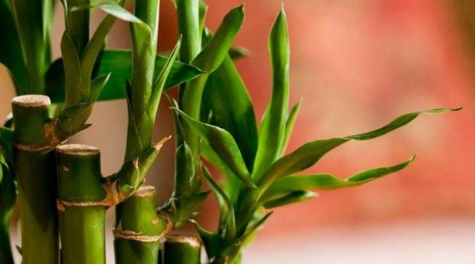 Бамбук в домашних условиях – особенности ухода