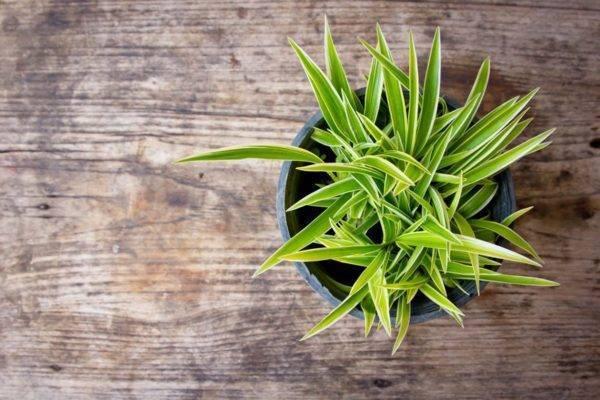 Домашний уход за растением Хлорофитум оранжевый