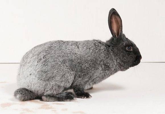 Кролики полтавское серебро: описание, характеристика. разведение, уход, рацион и отзывы