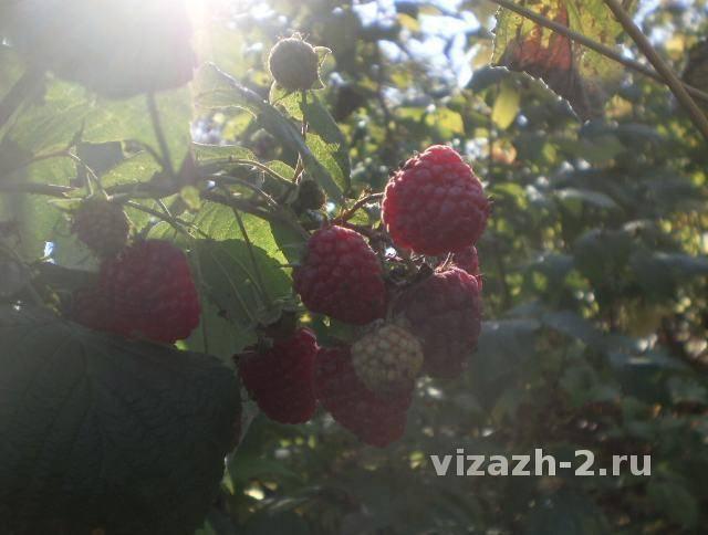 Уход за малиной осенью: подготовка к зиме, обрезка
