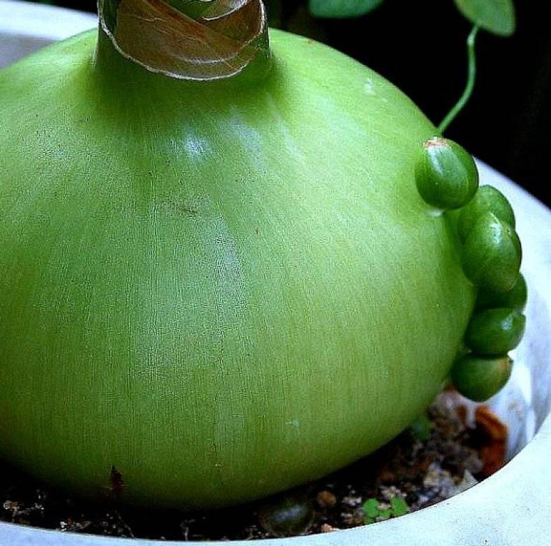 Лечение суставов китайским луком