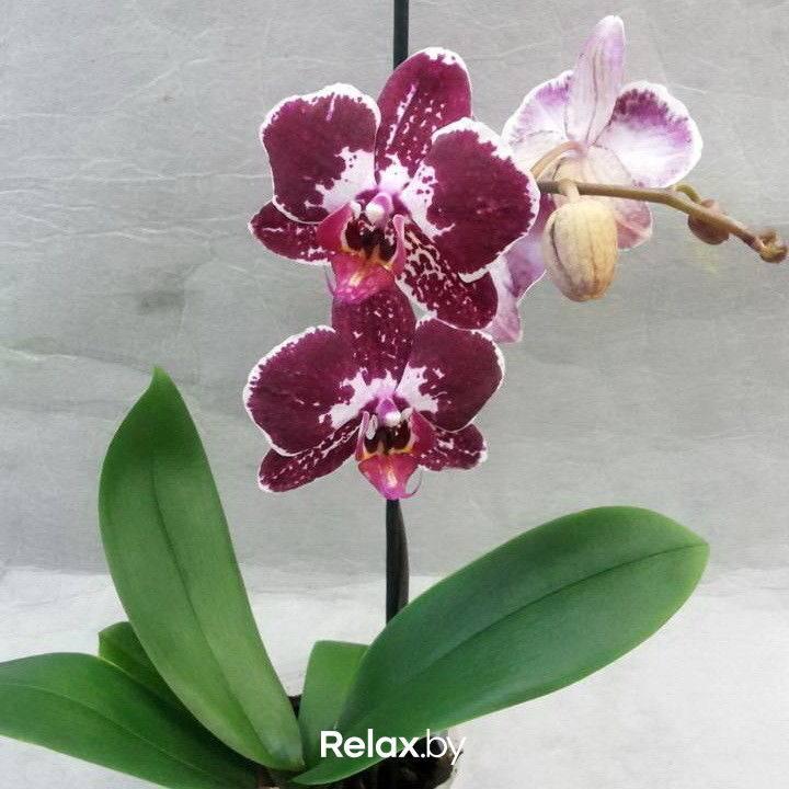 Цвет цветов фаленопсис: фото черной, голубой, красной, фиолетовой, оранжевой, бордовой, зеленой, фисташковой и других орхидей, какие у растения бывают сорта? selo.guru — интернет портал о сельском хозяйстве