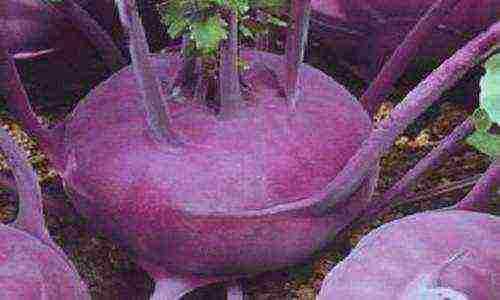 Капуста кольраби – правила агротехники при выращивании в открытом грунте