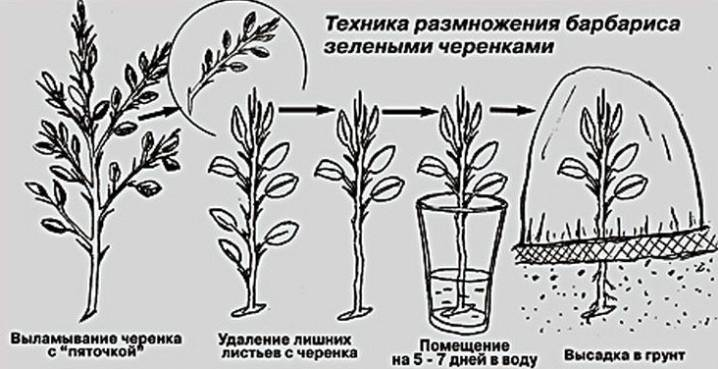 Барбарис: посадка и уход, особенности выращивания, отзывы