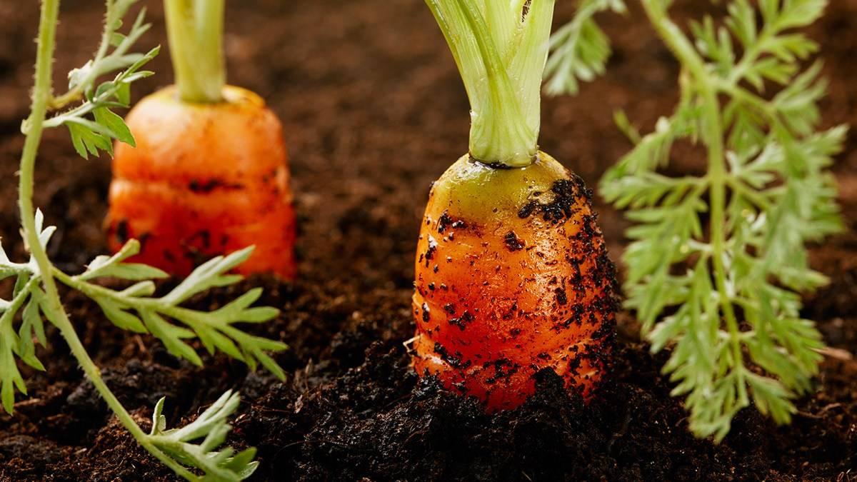 Морковь нандрин f1: отзывы, описание сорта
