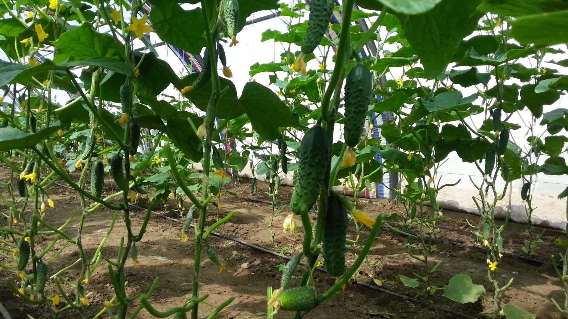 Грунт для рассады огурцов: какой выбрать для высокой урожайности