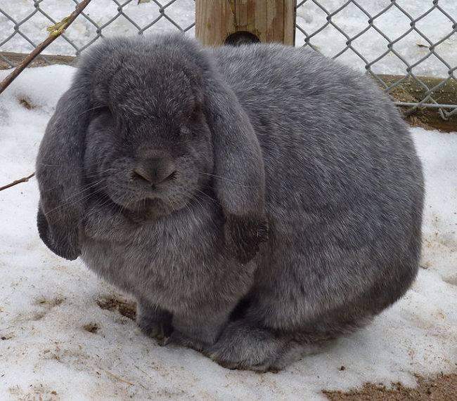 Французский баран кролик, все о породе от происхождения до содержания