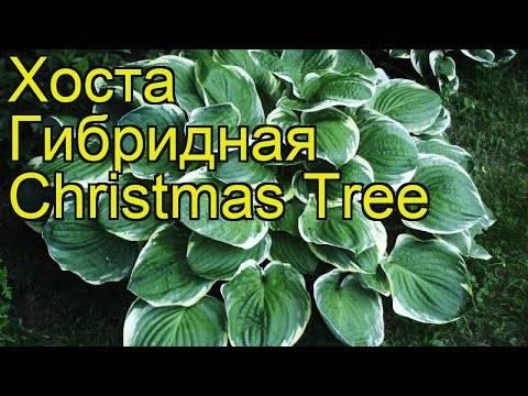 Хоста «кристмас три»: описание и выращивание - ваш сад