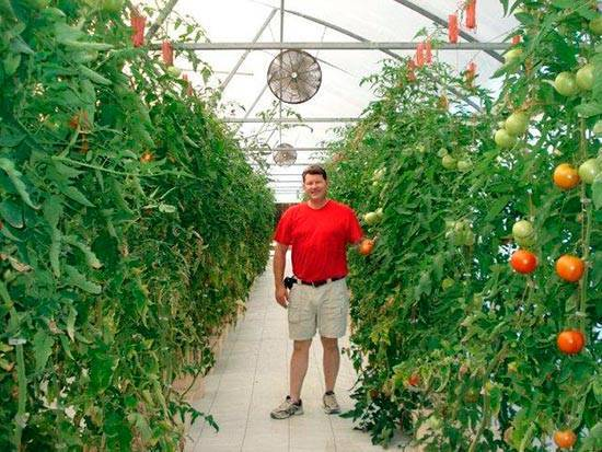 Как пасынковать помидоры в теплице пошагово схема фото видео