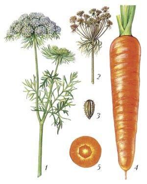 Особенности корневой системы моркови - сельская жизнь