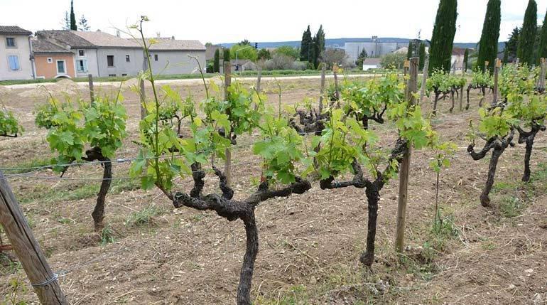 12 лучших винных сортов винограда для северного виноградника - квартира, дом, дача - медиаплатформа миртесен