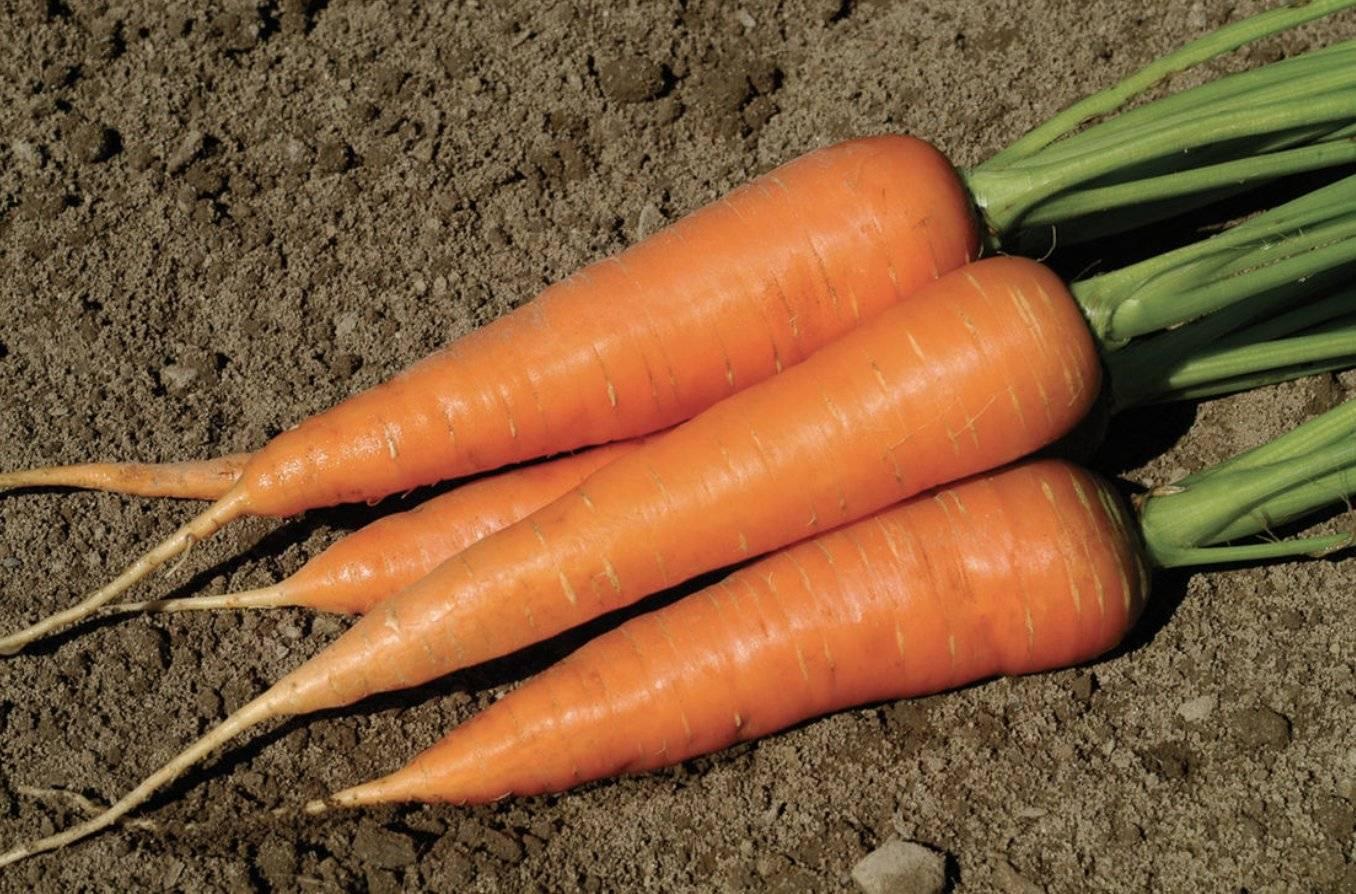 Особенности ухода за морковью: когда поливать после посадки и как это правильно делать?