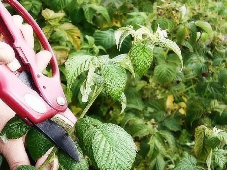 Как обрезать малину весной, осенью, летом - правила ухода за кустарником