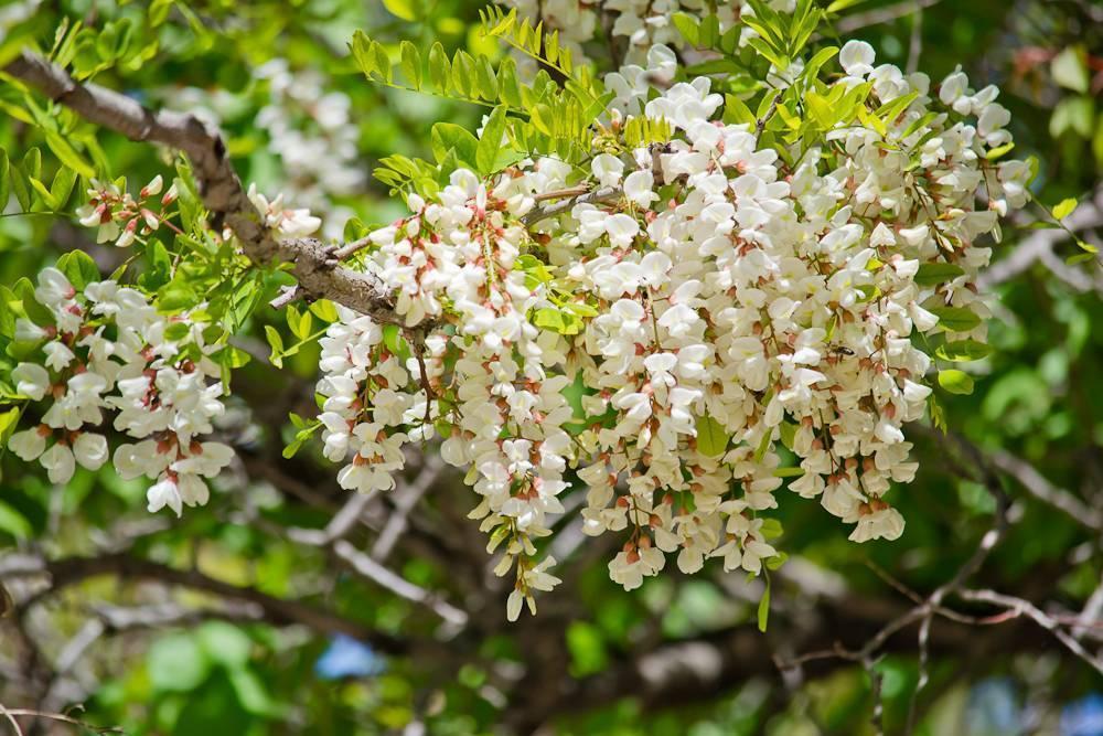 Акация: виды дерева, описание, посадка и уход