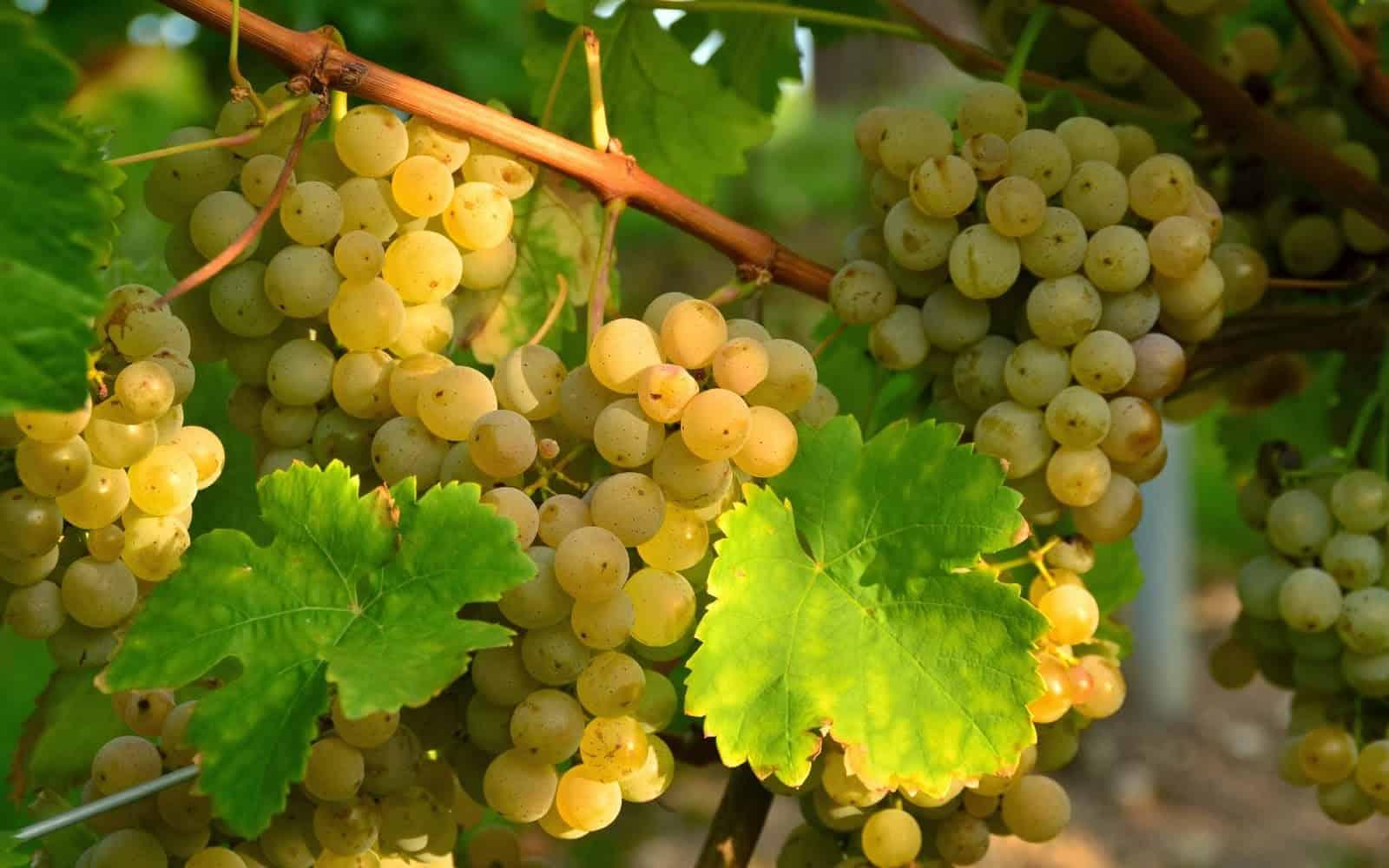 Правильный уход и подготовка винограда в подмосковье к зиме