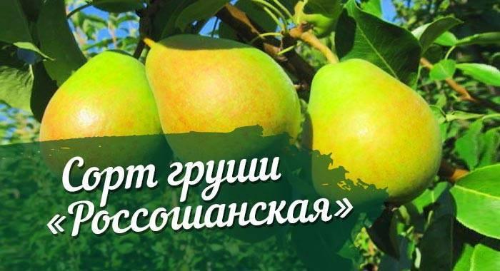 """Груша десертная """"россошанская"""": описание сорта, фото, отзывы"""