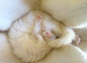 Коты и кошки альбиносы: признаки альбинизма, белый цвет как признак породы, правда ли, что кошки-альбиносы глухие?
