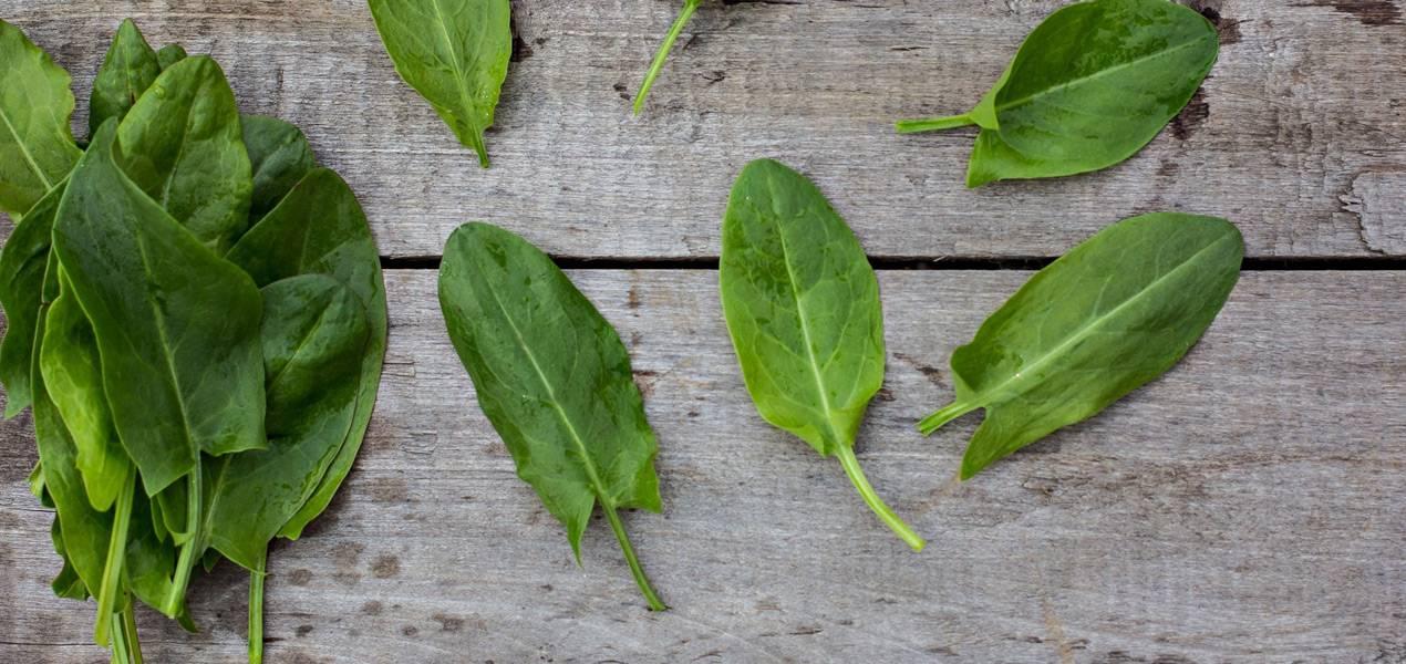 Посадка и уход за щавелем в открытом грунте: выращиваем вместе