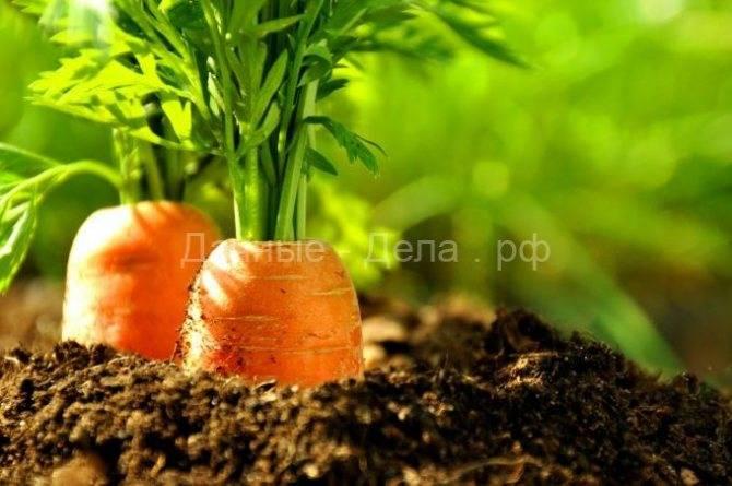 Удобрения для моркови: что вносить в почву при посадке и росте