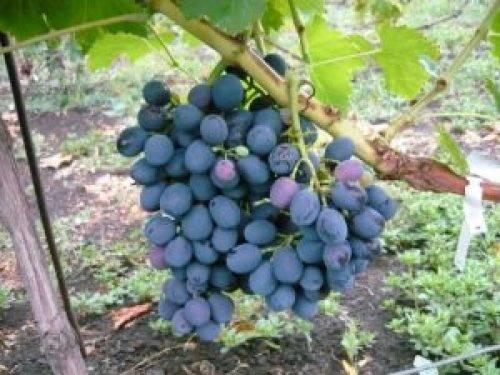 Виноград блэк гранд: описание сорта, фото
