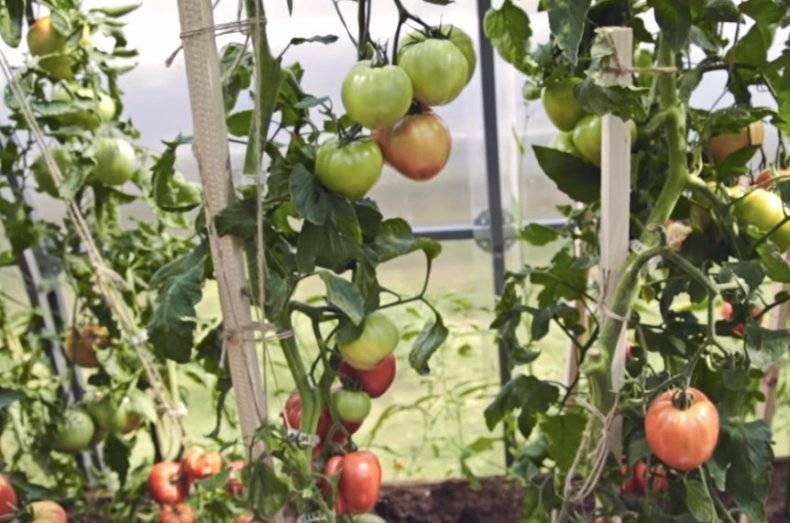 Томат урожайный оранжевый спам f1: детальное описание, особенности, отзывы