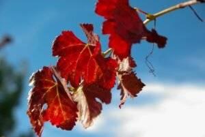 Листья винограда — полезные свойства и противопоказания