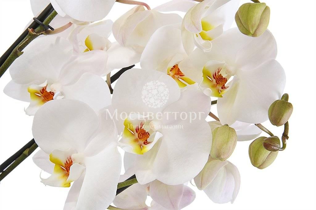 Полив и уход за орхидеей в домашних условиях: комнатные белые растения, проверка перед покупкой в горшке, фото и видео от специалистов