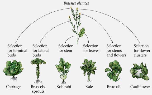 Изобразите в виде схемы процесс выведения сорта кочанной капусты от дикого предка. капусты - kohl | зелёный сад