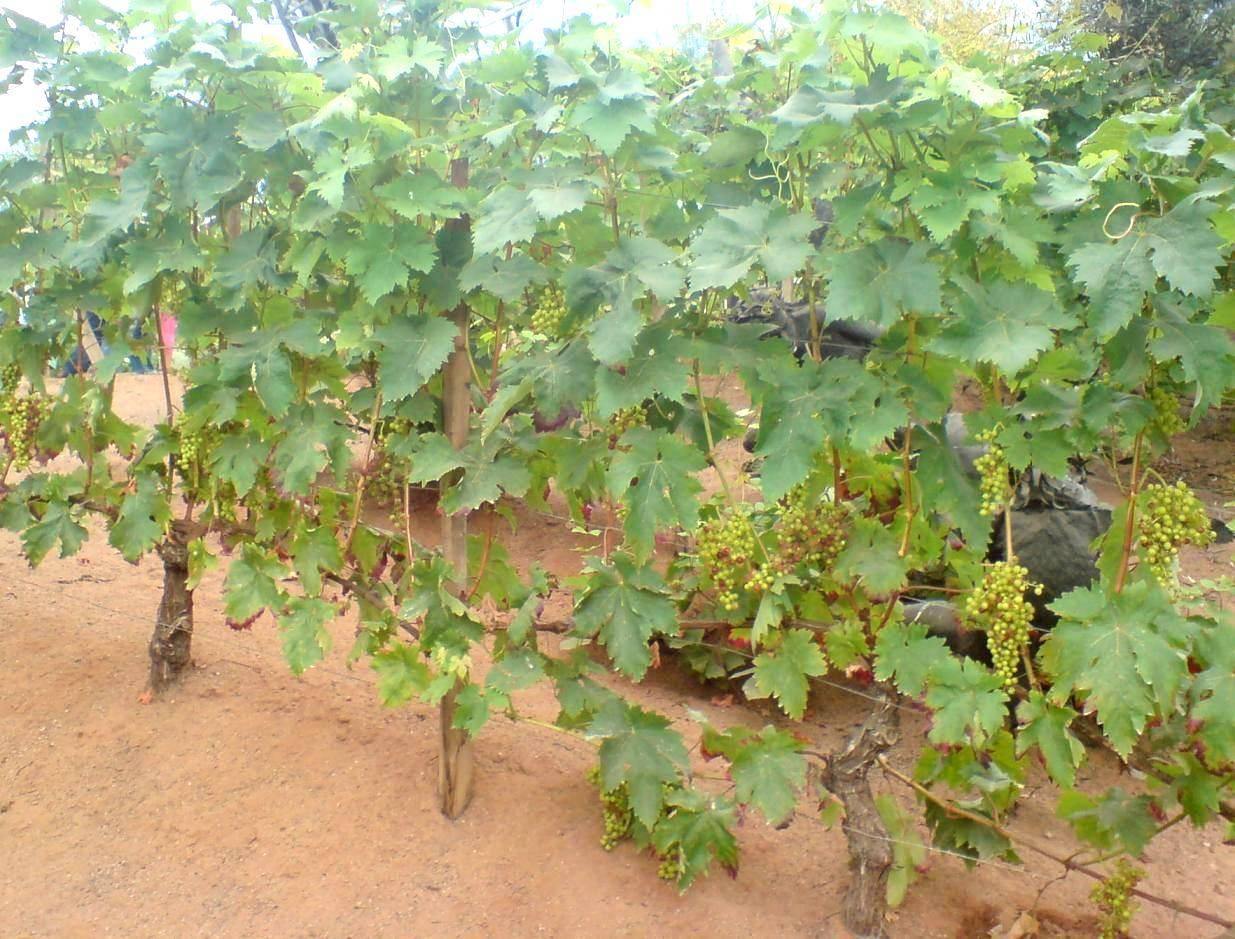 Виноград велес: описание сорта, фото, посадка и уход
